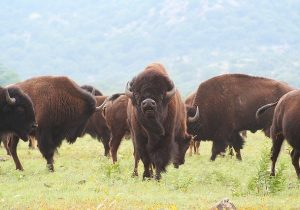 Bison Rancher Saved By Community Support