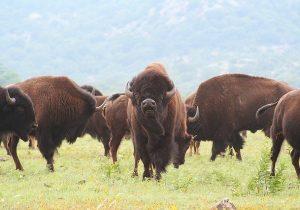 bison rancher